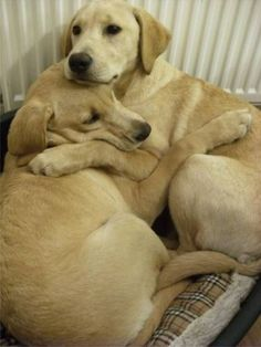 Brother & sister labs.  She's afraid of thunderstorms, and when one blows through, he comforts her.  Too sweet for words.