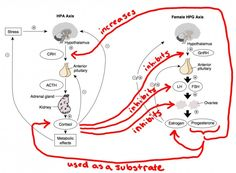 How Chronic Stress Leads to Hormone Imbalance - The Paleo Mom Very interesting scientific article about the symptoms of chronic stress Adrenal Health, Adrenal Fatigue, Health And Wellbeing, Health And Nutrition, Anterior Pituitary, Paleo Mom, Chronic Stress, Acute Stress, Hormone Imbalance