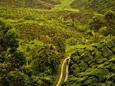Photo: A man riding through a tea plantation in Malaysia