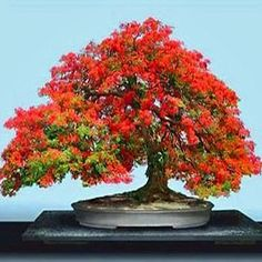 DELONIX-regia-Flame-Of-The-Forest-Bonsai-Seeds-ES18