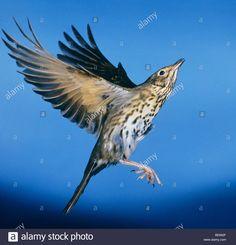 wood thrush flying - Google Search