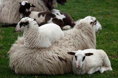 Young Lambs Resting - Jigsaw Puzzles Online at JSPuzzles