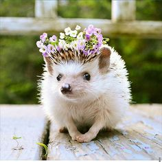 no. this hedgehog is not wearing the tiniest of flower crowns. no