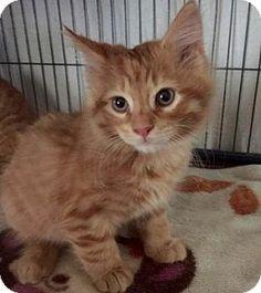 Westampton, NJ - Domestic Longhair. Meet Petvalu Kittens!!, a kitten for adoption. http://www.adoptapet.com/pet/11359353-westampton-new-jersey-kitten