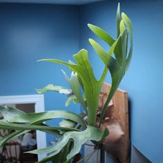 Staghorn fern fronds reaching up to the skylight ~ ~ #staghornfern #platycerium #platyceriumbifurcatum #houseplants #plantlove #foliage #indoorplants #plantlife #urbanjunglebloggers #houseplantclub #plantstyling #houseplantjournal #plants #gardening...