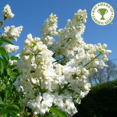 Syringa Vulgaris Madame Lemoine Tree White Lilac Trees Seasons of interest: Spring, Summer A white lilac tree with panicles of tiny white flowers clustered closely and giving off a delightfully strong and sweet fragrance in May-June. Syringa Madame Lemoine will grow to around 4 x 4 meters in 20 years and requires a well-drained soil in sun. The white flowers of this small garden tree stand out well against the back-drop of mid green, heart shaped foliage.
