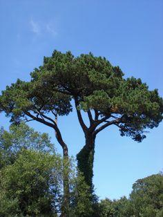 Pinus monophylla (Singleleaf pinon pine)
