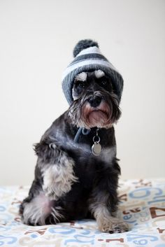 This is my favorite dog breed ever! Mini Schnauzer! They are amazing and apparently, cute.. look at this little man!! He is styling!!!