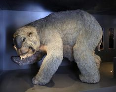 Giant marsupials' graveyard unearthed in Queensland, Australia. The fossils are believe to be remains of Diprotodon, a hippopotamus-sized animal which is believed to be the largest marsupial to have lived. Extinct Animals, Rare Animals, Wombat, Vida Animal, Dinosaur Fossils, Prehistoric Creatures, Mammals, Anthropologie, History