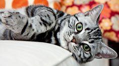 Bello gato