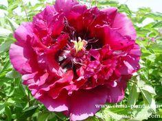 Китай, Фиолетовый, Роза, Цветы, Растения