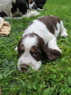 We are a responsible small family breeder of English Springer Spaniel puppies. Our goal is to place high quality, biddable dogs with joyful, gentle temperaments in dog-loving homes. English Cocker Spaniel Puppies, Springer Spaniel Puppies, English Springer Spaniel, Black Lab Puppies, Dogs And Puppies, Corgi Puppies, I Love Dogs, Cute Dogs, Adorable Puppies