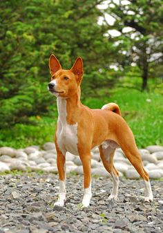 """The Basenji is called the """"barkless"""" dog and has a very distinct yodel or yowl. Find out more about this amazing little dog on the BBS Healthy Dog Blog! #basenji"""