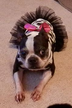 Boston Terrier - Sweet Pea