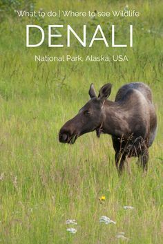 Denali National Park is a must-see in Alaska. Click here to find out when to go, where to go, how to buy tickets, where to stay, and so much more. #Alaska #summer #Denali #nationalpark #wildlife