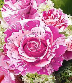 la reine victoria' (1872) bourbon rose | historische rosen 2010, Garten dekoo