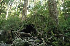 Cedar of Yakushima. Looking for more information about Kagoshima? Go Visit Yakushima Marche. http://www.yakushima-marche.com/