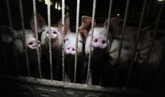 Campaign Launched To Abolish Factory Farming In Switzerland