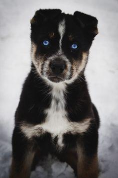 TTT™ | Wallpaper | Blue Eyed Puppy | © envyavenue | on tumblr | http://fb.me/43PXUun01