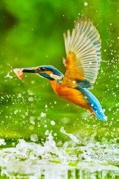 Yalı çapkını #aves #birds