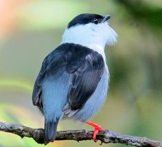 White-bearded Manakin (male) by Félix Uribe, San Rafael, Antioquia, Colombia