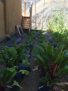 Huerta de espinacas y ruculas con timer y dos minutos de agua al día por Cinta de riego .El Mulch plástico ayuda a mantener la humedad en la tierra .