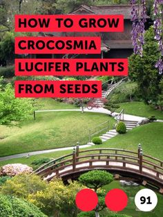How to Grow Crocosmia Lucifer Plants From Seeds. Crocosmia Lucifer produces a fiery red flower from corms. Its delicate bloom is presented in racemes—unbranched clusters—that arise from June to August. Crocosmia has slender green grass-like foliage 2 to 4 feet tall. The plant is native to South Africa and a relative of gladiolus with...