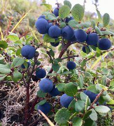 Lowbush Tundra Blueberries in Bethel Blueberries, Arctic, Flora, Gardening, Plants, Berry, Blueberry, Garten, Lawn And Garden