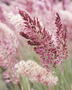 ~Pink Crystals Ruby Grass #flowers