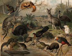 fauna   File:Australisk fauna, Nordisk familjebok.jpg - Wikipedia, the free ...