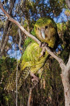 New Zealand Kakapo Fast Crazy Nature Deals. Flightless Parrot, Kakapo Parrot, Sea Birds, Wild Birds, Nocturne, Illustrations, Animal Photography, Nature Photography, Spirit Animal