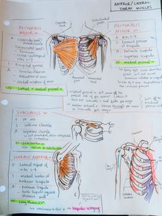 ambitions like ribbons Anterior thorax and upper limb bones Medicine Notes, Medicine Student, Human Body Anatomy, Human Anatomy And Physiology, Gross Anatomy, Physical Therapy Student, Nursing School Notes, Medical School, Medical Anatomy