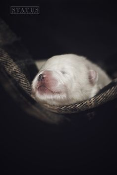 Samoyed with one week by Status - Pets Photography