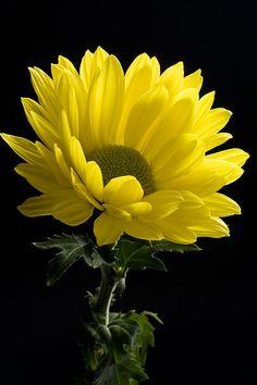 Yellow Flower Portrait By Chris Aquino