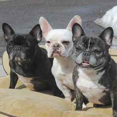 Frenchie Flashback Friday  This is one of our first Instagram photos two years ago.  Myra and Doris were almost 3 and Lola was almost 2.  Doris looked like a little grandma even then! by threelittlefrenchies