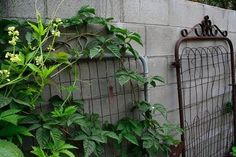 Growing vines and other vertical elements in a garden adds height, interest, expands useful space, and sometimes even acts as a privacy screen! It's pretty impossibly to grow most vines, however, without the proper support.... Read More