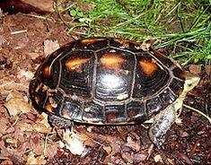 Chinese box turtle - Wikipedia