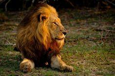 Lion @ sunrise #inyatisafari  #southafrica #lionsofthesabisands #amazing_nature_pictures #wildlifephotography #sabisandsgamereserve #carnivores #bigcats #nature #naturephotos