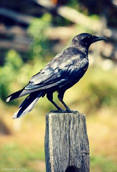 crow posing by gypsymarestudios, via Flickr  (love this, I think it is difficult to catch crows looking natural ~ yes, I know that sounds weird~ but this one does, like it's relaxed!