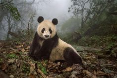 Pandas Get to Know Their Wild Side #photography #photo http://www.nationalgeographic.com/magazine/2016/08/giant-pandas-wild-animals-national-parks/