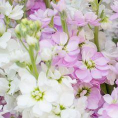 Levkoje - Bloomy Blog | Blumentipps und mehr