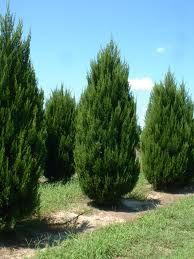 Spartan Juniper 15-20 ft. tall and 4-6 ft. wide. A quick growing upright juniper. Its densely branched pyramidal form holds rich green foliage all year. Nice choice for year round color.
