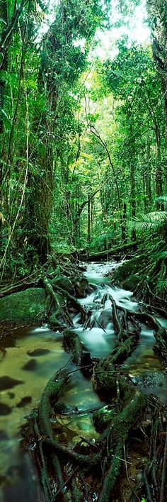 Daintree Rainforest - Australia Hope mankind will leave this lovely wild place alone! What A Wonderful World, Beautiful World, Beautiful Places, Daintree Rainforest, Australia Travel, Queensland Australia, Tree Forest, Natural World, Wonders Of The World