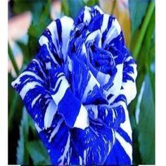 Blue Dragon RARE Rose 10 Seeds Free Shipping USA Seller | eBay