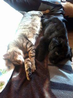 #Tom #Cat #Freya #Dog #Mymonsters  #Puppys #Cats&Dogs #IWantToSleep #BlackDog #BlackGolden #GoldenRetriever