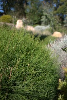 Trialling Casuarina 'Green Wave' - Will eventually grow to but slow growing Mallee Design Landscape Materials, Landscape Design, Australian Garden Design, Wind Break, Native Australians, Plant Design, Native Plants, Palm Beach, Garden Plants