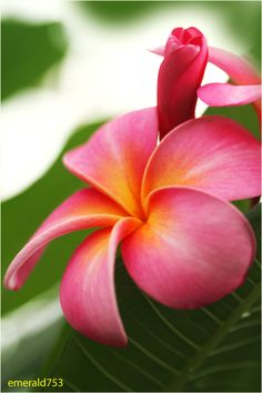 Pink Plumeria by *theresahelmer on deviantART