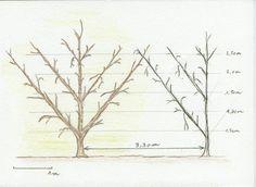 Un verger palissé pour des cours de jardinage de fruitiers