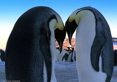 Love-birds: The poignant pictures that show how penguins fall in love and start a family in a way that's utterly human Penguin Love, Cute Penguins, 10 Picture, Love Birds, Beautiful Creatures, Falling In Love, Two By Two, Wildlife, Fun