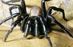California trapdoor spider, Bothriocyrtum californicum